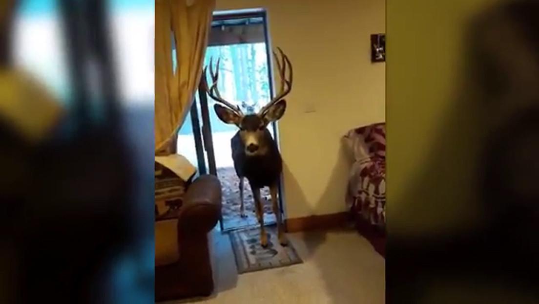 VIDEO: Mujer atrae y alimenta ciervos dentro de su casa y acaba penalizada