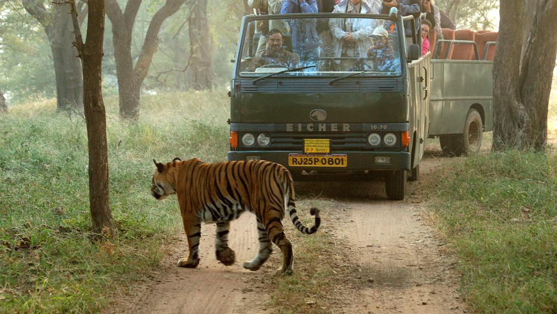 VIDEO: Un tigre ataca un vehículo con unos turistas a bordo durante un safari en la India