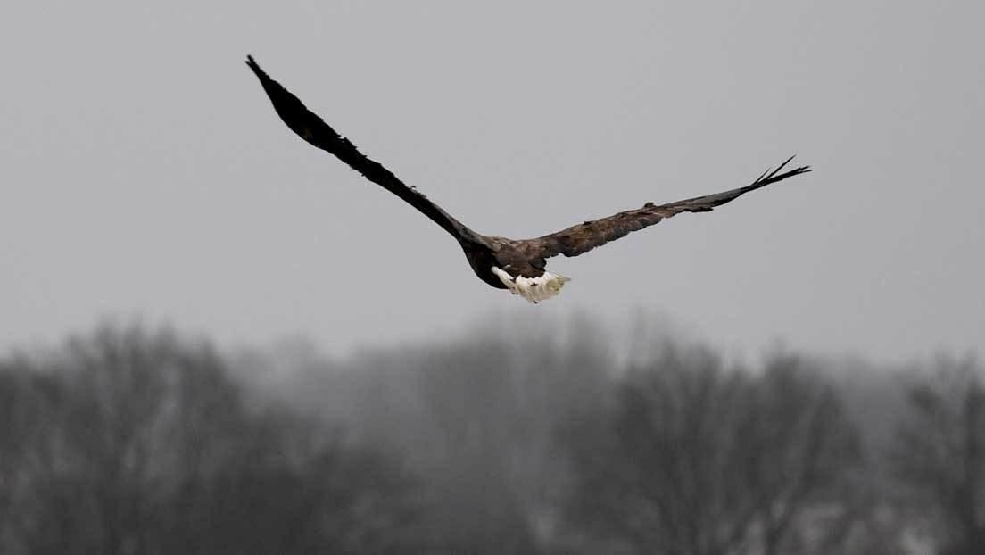 FOTOS: Dos águilas torturan a un murciélago como parte de su ritual de caza