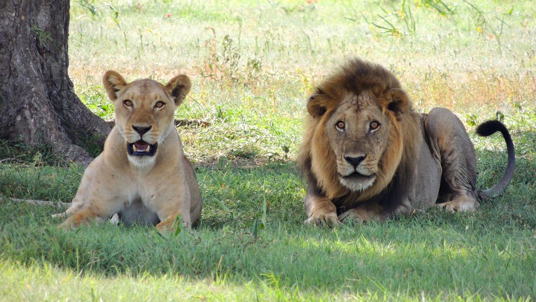 VIDEO: Dos leones lamen y juegan con una indefensa cría de antílope durante 20 minutos antes de asestarle un golpe mortal