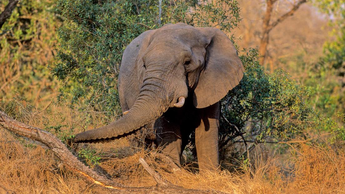 VIDEO: Un guía turístico recibe patadas de un elefante y ni se inmuta
