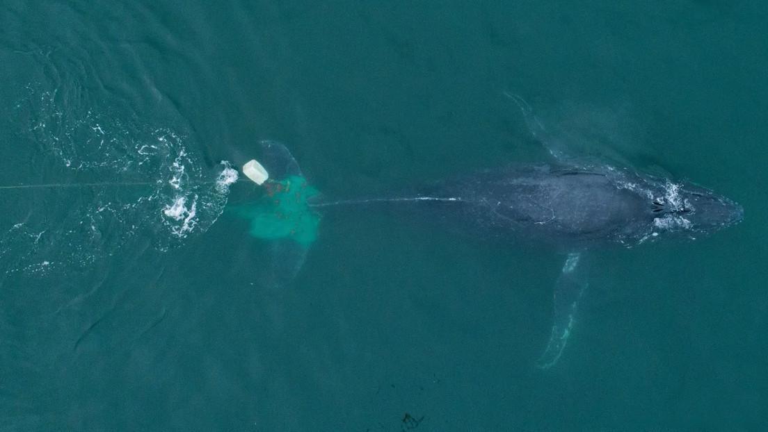 VIDEO: Rescatan a una ballena atrapada en una red de pesca ilegal en México