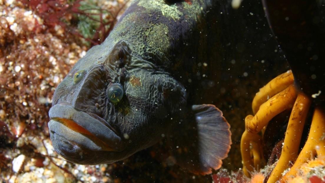 Un pez herbívoro podría ser clave para superar el calentamiento global
