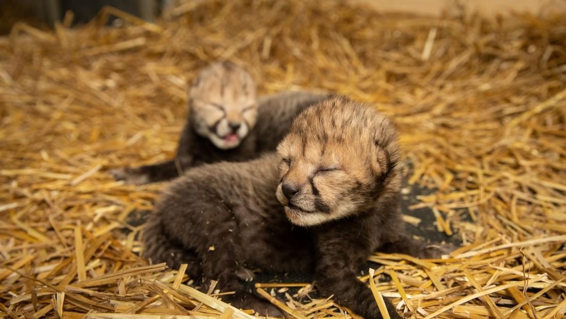Nacen los primeros guepardos fecundados 'in vitro' y gestados en un vientre de alquiler (VIDEO)