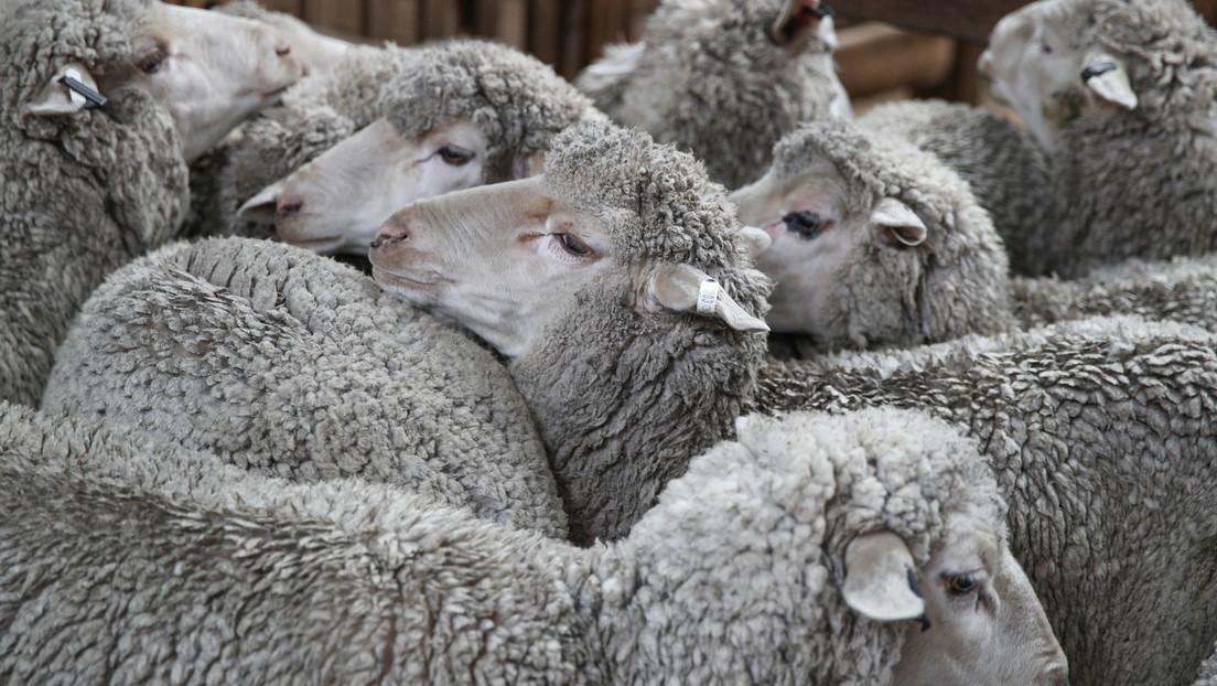 Un video grabado en secreto revela cómo un granjero golpeaba y pateaba violentamente a sus ovejas