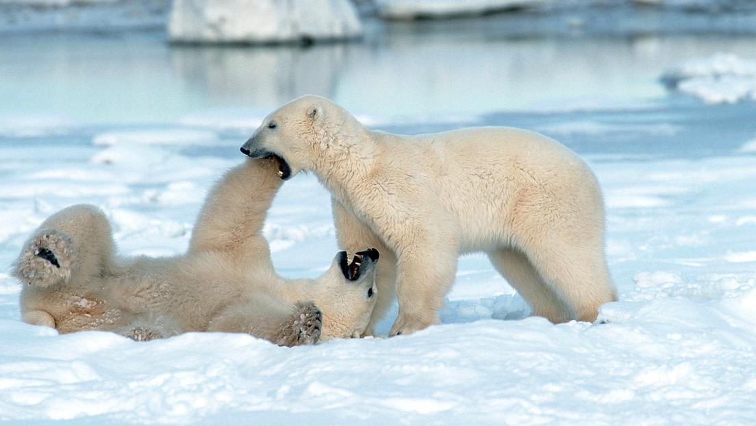 Osos polares se vuelven caníbales debido al cambio climático y escasos alimentos