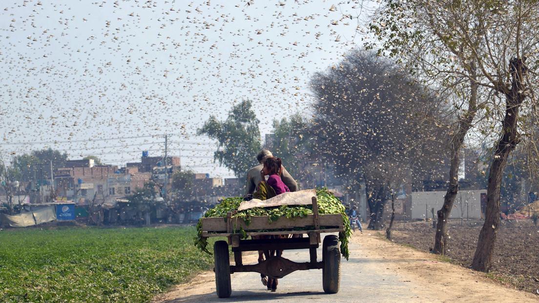 Reportan un ejército de 100.000 patos enviados por China a combatir la peor plaga de langostas en Pakistán: ¿qué tiene de cierto?
