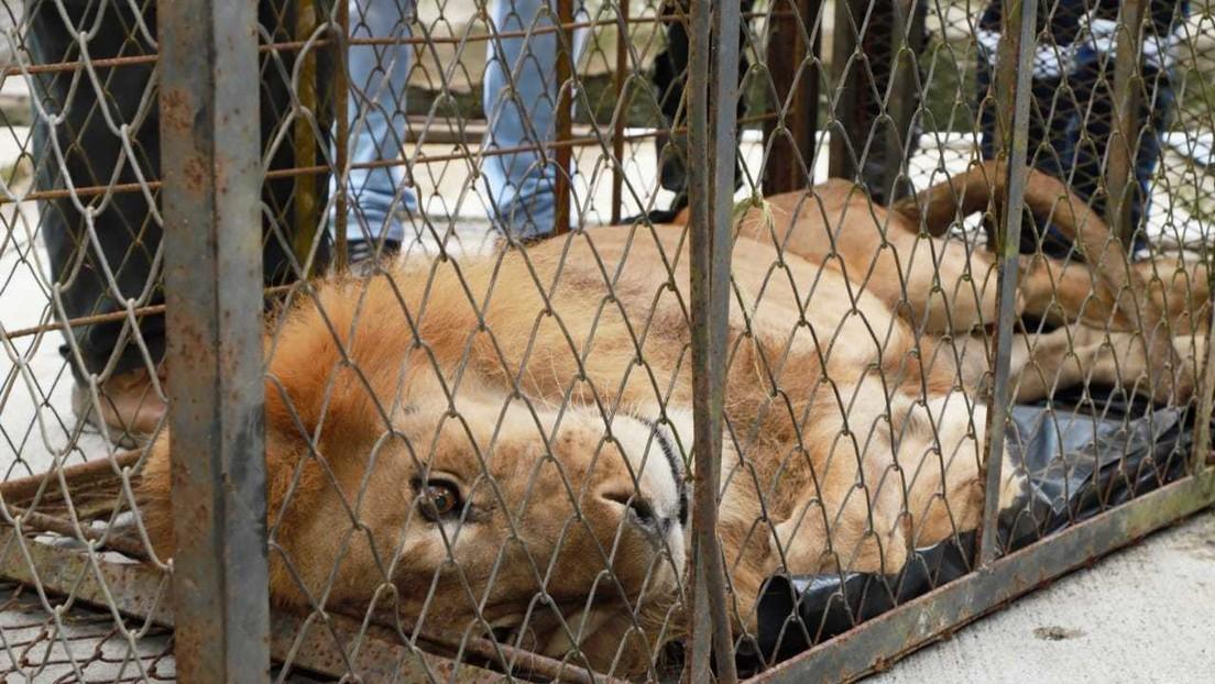 VIDEO, FOTOS: Rescatan en Colombia a un león tan demacrado que ni siquiera puede levantarse