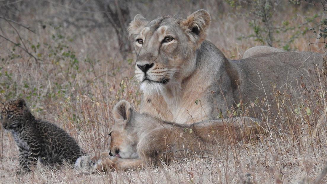 Único caso documentado: una leona adopta y cría a un cachorro de leopardo junto a su camada (FOTOS)