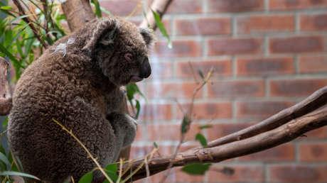 """Australia investiga una """"masacre"""" de koalas por la tala de árboles"""