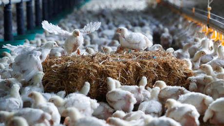 Arabia Saudita y Vietnam registran un brote de gripe aviar altamente patógena
