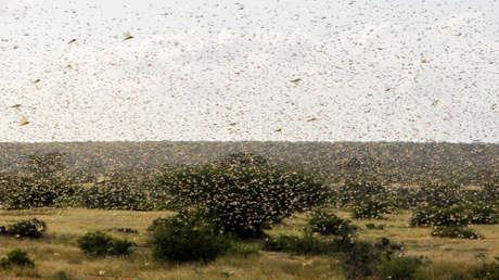 VIDEOS: Así de grave es la situación por la plaga de langostas en África Oriental