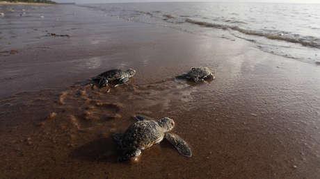 VIDEO: Una tortuga que expulsó más de 14 gramos de plástico vuelve a su hábitat natural en Argentina