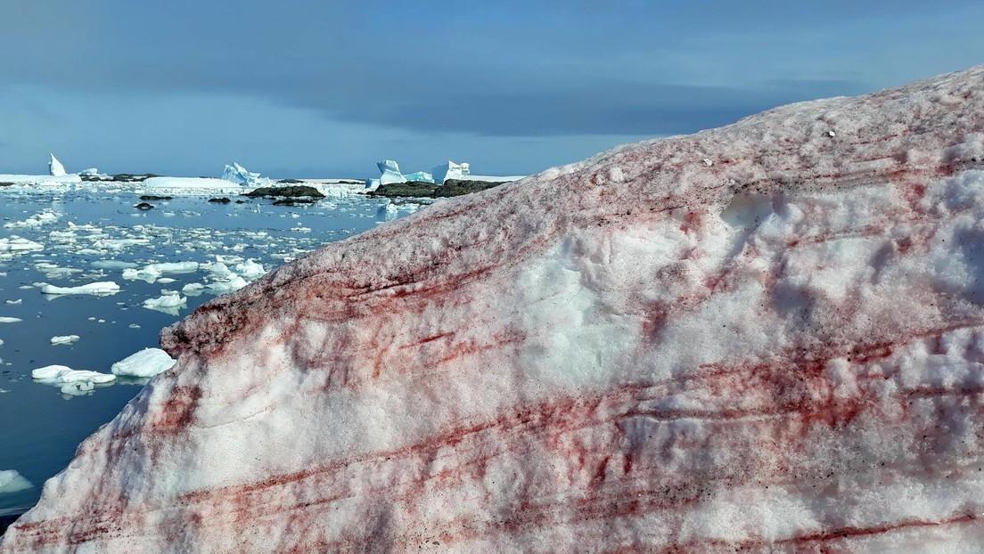 """FOTOS: El hielo alrededor de una base antártica se cubre de """"nieve de frambuesa"""""""