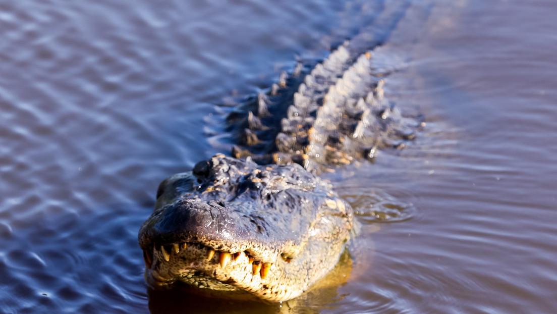 FOTO: Rescatan a un caimán de un sótano en el que permaneció 25 años en cautiverio en EE.UU.