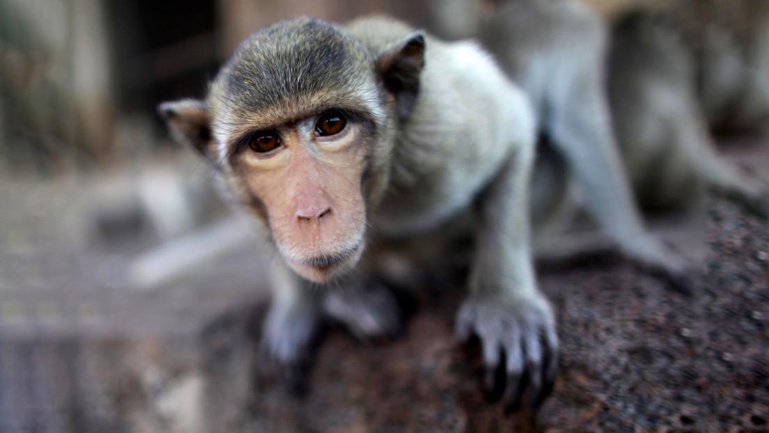 VIDEO: Obligan a un mono a levantar pesas para entretener turistas