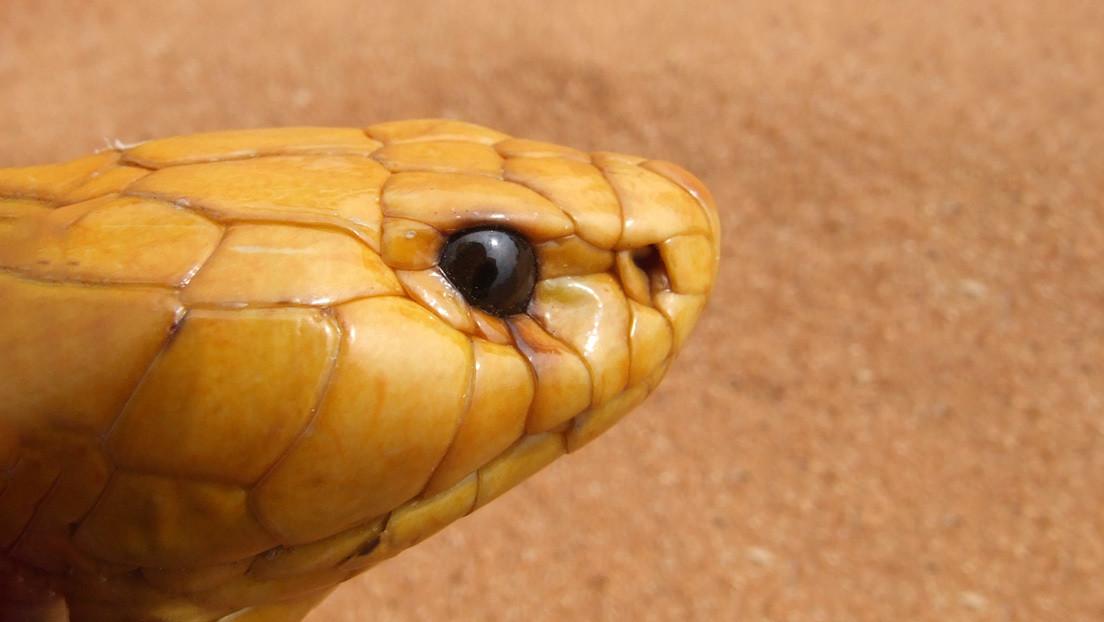 VIDEO: Una valiente ardilla se enfrenta a una cobra gigante para proteger a sus crías (y gana la batalla)