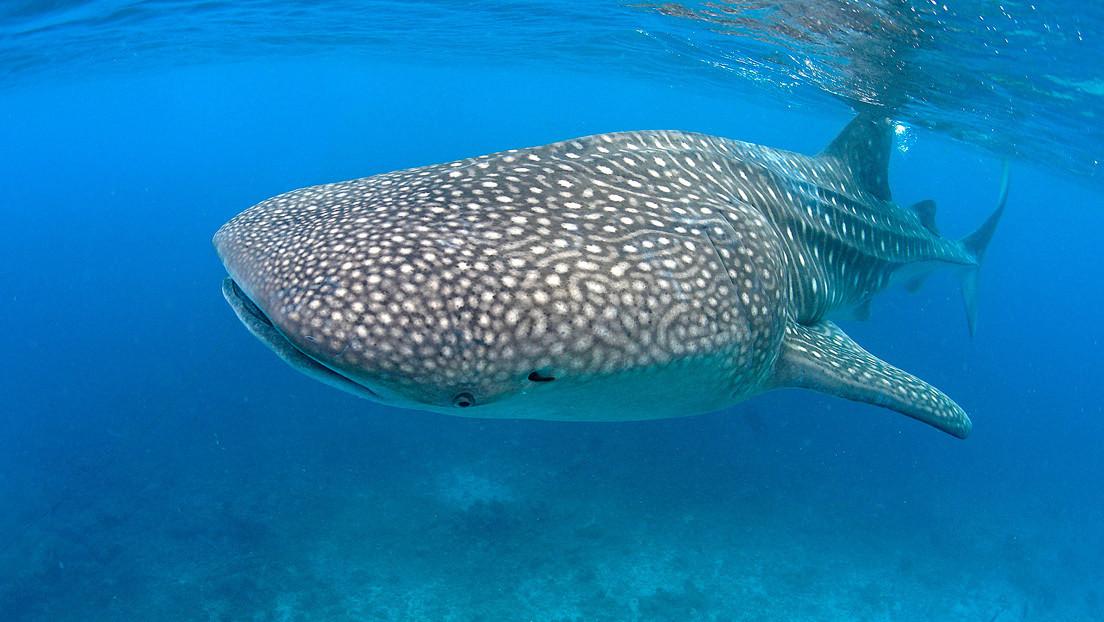 VIDEO: Un barco con turistas se topa con el pez más grande del mundo