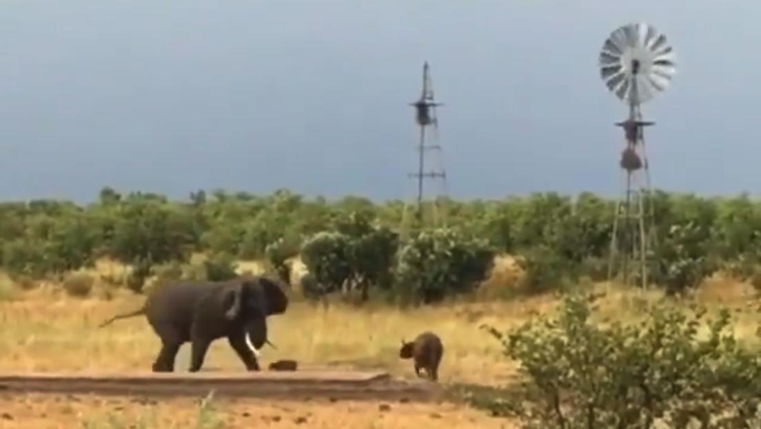 VIDEO: Una pequeña cría de búfalo pone en fuga a un gigantesco elefante