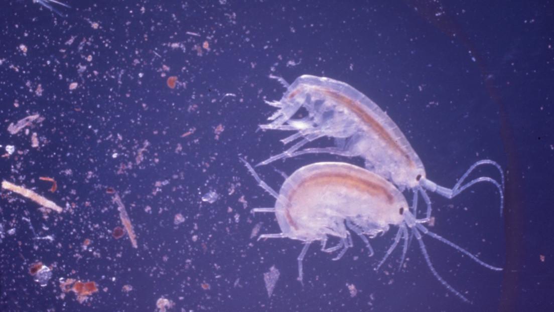 Hallan plástico en una nueva especie marina detectada en el lugar más profundo de la Tierra