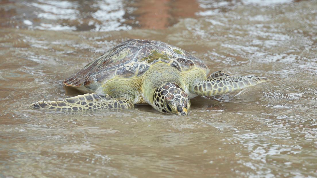 La basura de las playas argentinas amenaza a las tortugas marinas: ¿cómo se rehabilitan tras ingerir plástico?