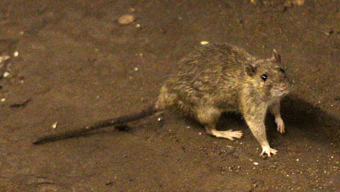 Un estudio sugiere que ratas y humanos experimentaron mutaciones similares como resultado de coexistir en las ciudades
