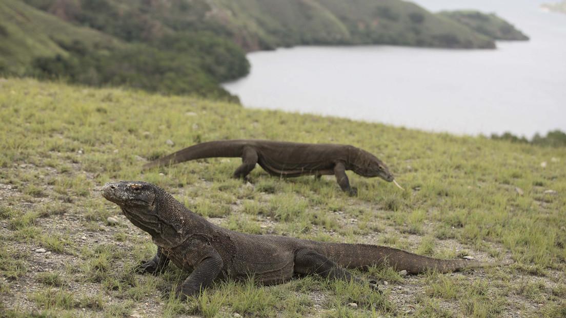 Una hembra de dragón de Komodo se reproduce sin necesidad de un macho en un zoo de EE.UU.