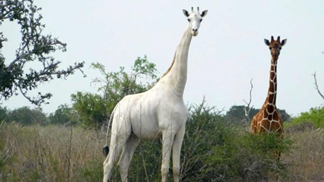 Furtivos matan a una rara jirafa blanca y a su cría y ahora solo queda un último ejemplar de esta especie en el mundo
