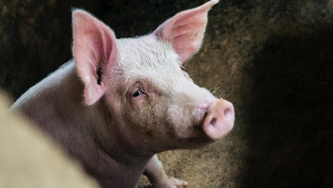 Un cerdo se come un podómetro, desencadena una inesperada reacción química y provoca un enorme incendio