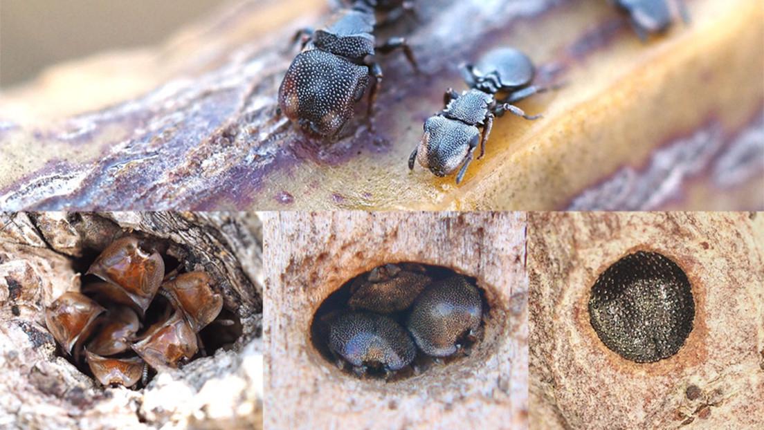Las cabezas de las hormigas tortuga demuestran que la evolución puede ser reversible