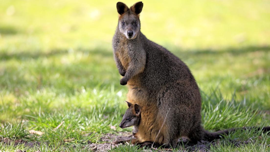 Un simpático animal endémico de Australia pasa toda su vida embarazado
