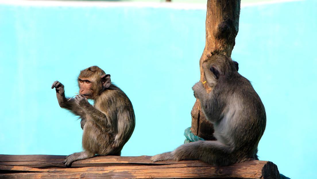 Científicos chinos comprueban que los monos no se vuelven a contagiar de coronavirus