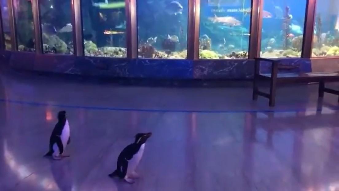 Ante el cierre del acuario por Covid-19, pingüinos aprovechan para pasear