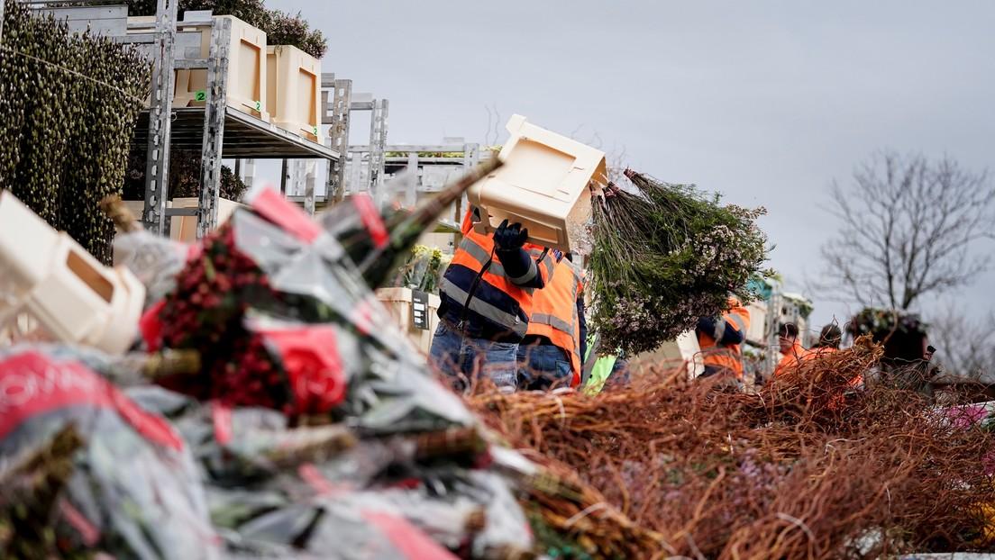 En Países Bajos destruyen millones de flores debido a la caída en la demanda por el coronavirus
