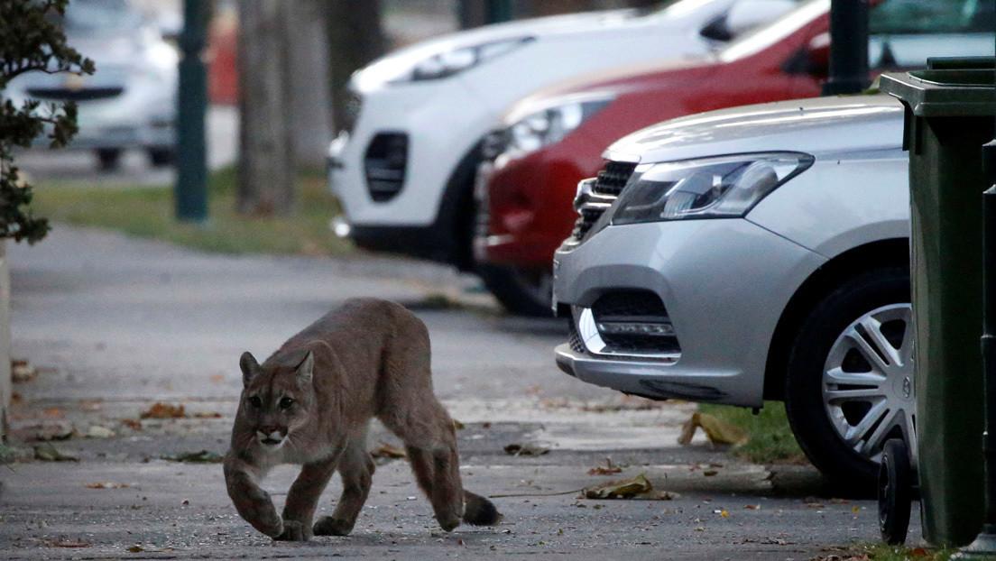 VIDEO: Un puma silvestre deambula por las calles de Santiago de Chile en plena cuarentena por el coronavirus