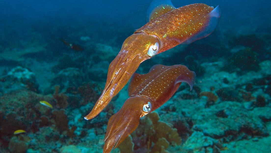 Descubren en calamares la capacidad de editar sus genes