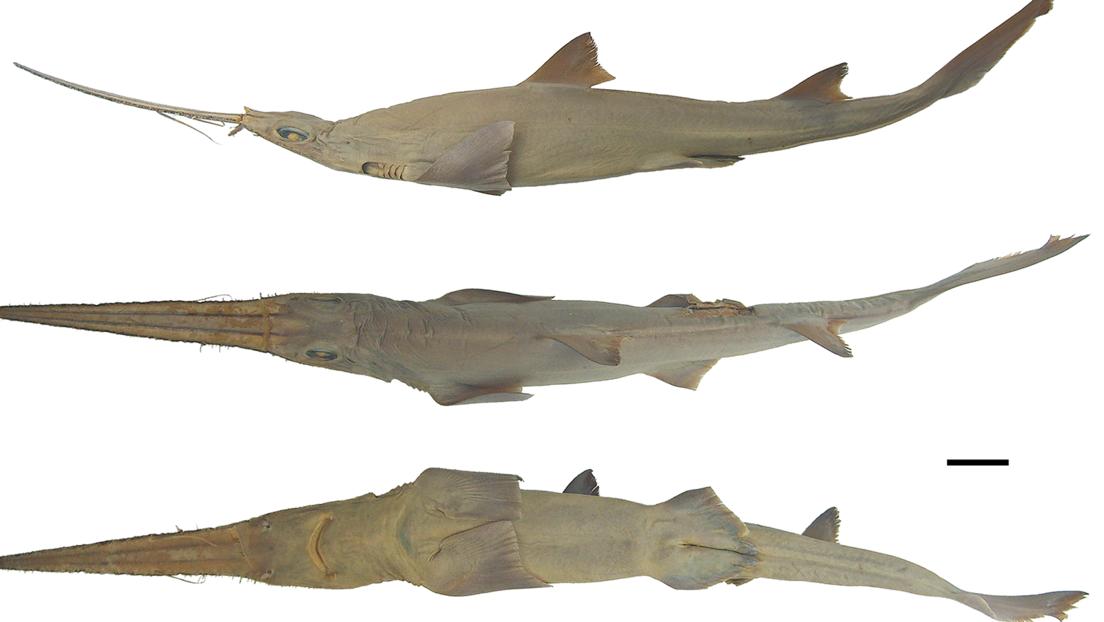 FOTOS: Descubren dos nuevas especies de tiburón frente a las costas de África