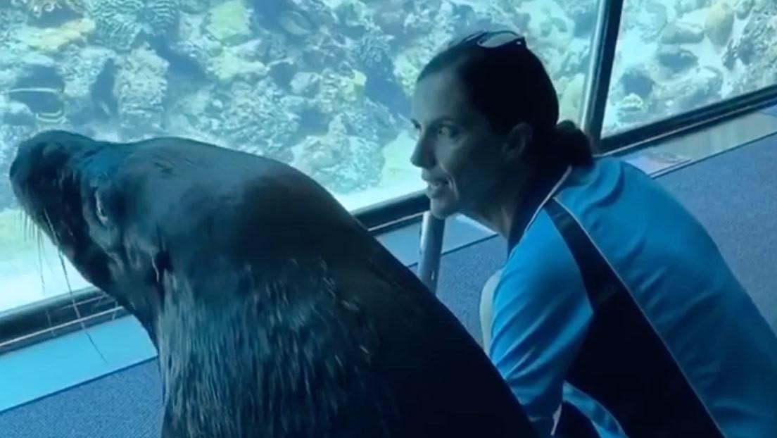 VIDEO: Un león marino sale a pasear por un acuario vacío durante la cuarentena