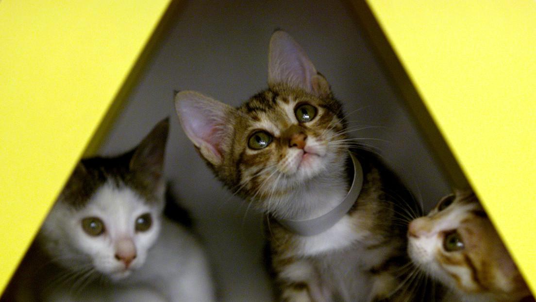Un gato dio positivo en coronavirus y quedó internado