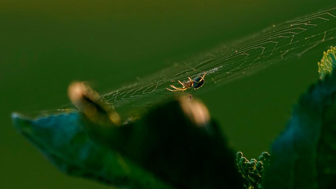 Hallan en Australia 7 vistosas arañas (y una parece 'coloreada' por Van Gogh)