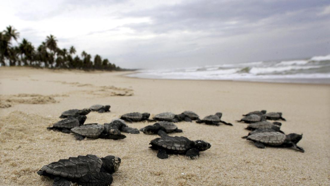 Nacen cerca de 100 tortugas marinas en peligro de extinción en una playa de Brasil desierta por la cuarentena del coronavirus (VIDEO)