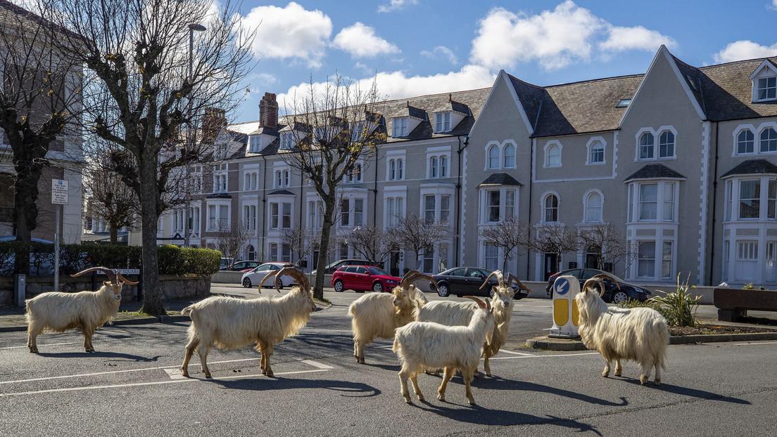 VIDEO: Las cabras toman una ciudad de Gales en plena cuarentena