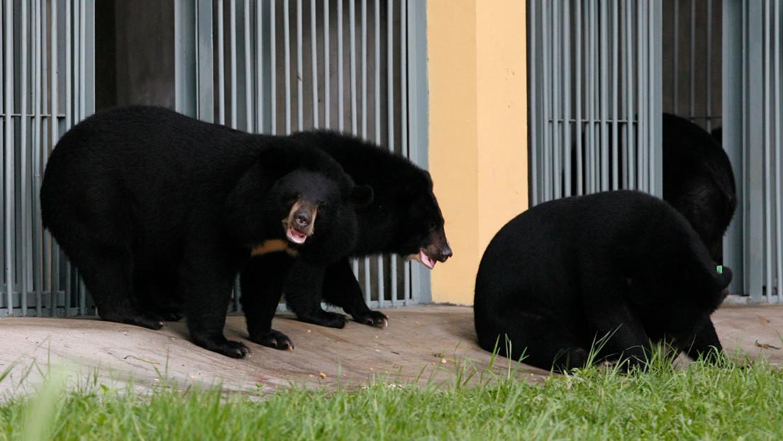China recomienda bilis de oso para tratar el covid-19 y provoca alarma entre los defensores de animales