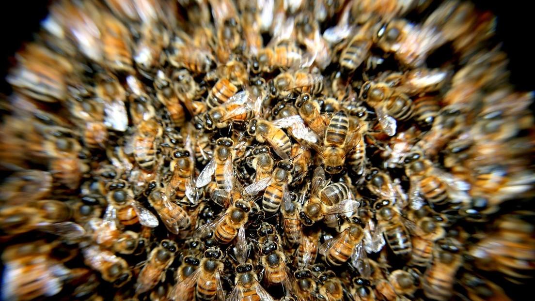 Científicos descubren en Panamá una abeja mitad hembra y mitad macho (FOTOS)