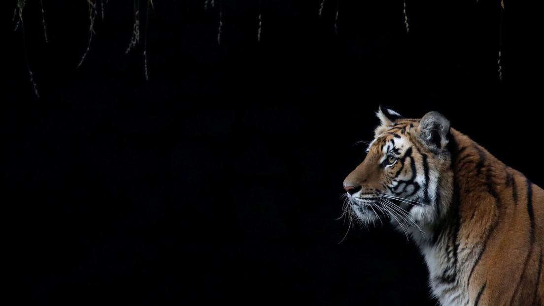 VIDEO: Graban una pelea de dos tigres en la India