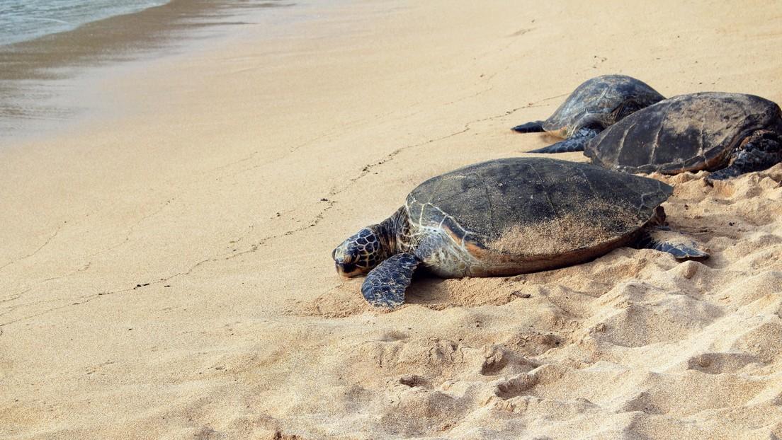 Miles de tortugas 'invaden' playas vacías de la India para anidar (FOTOS)