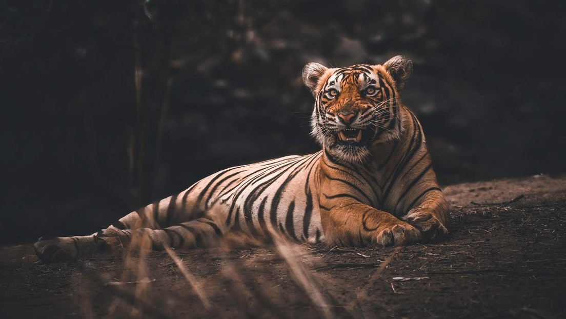 Una tigresa de un zoo de Nueva York contrae coronavirus tras contactar con un empleado infectado