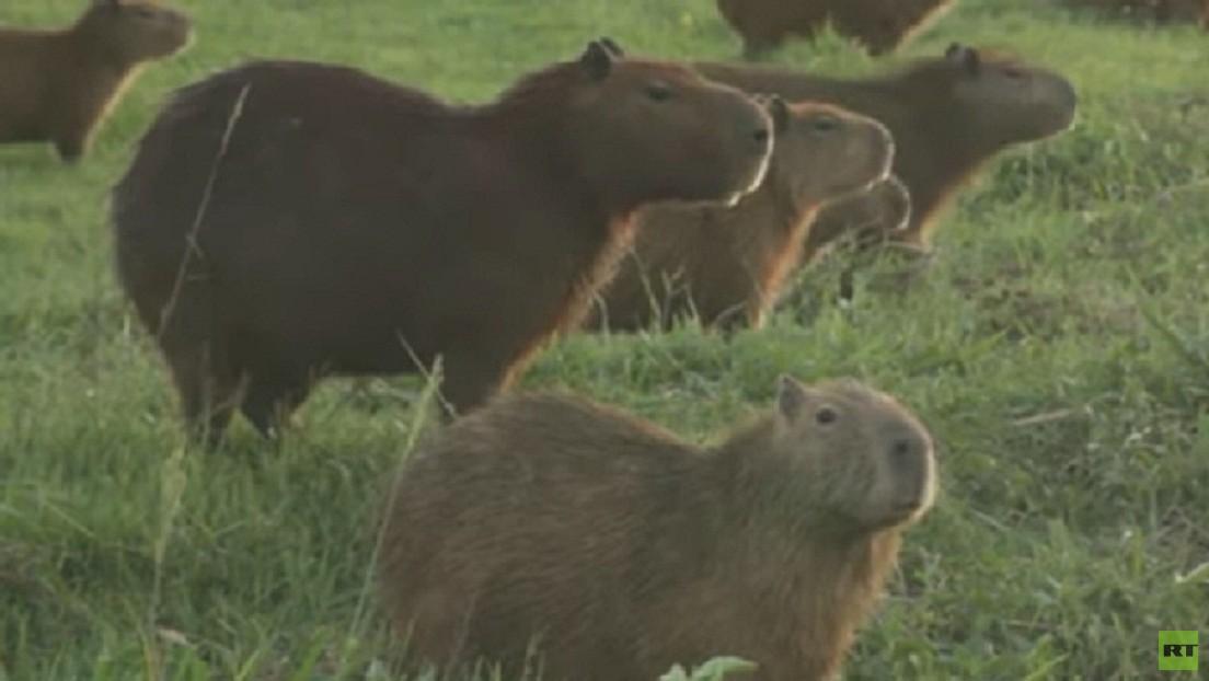 VIDEO: Los capibaras se adueñan de un club de golf en Bolivia en medio de la pandemia