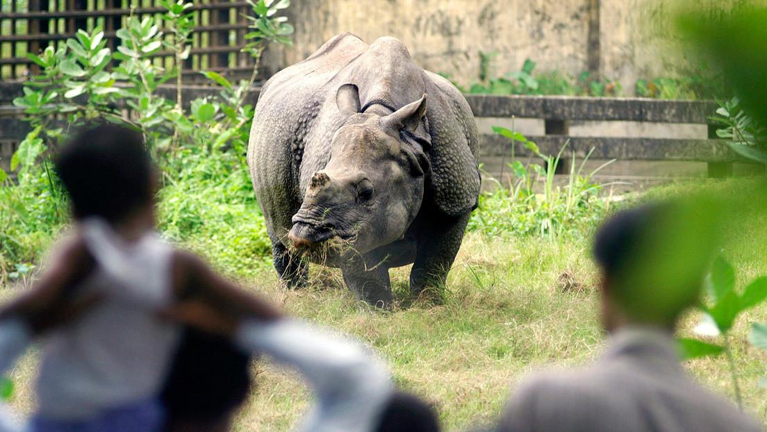 VIDEO: Un rinoceronte persigue a un hombre que infringe el autoaislamiento por el coronavirus en Nepal