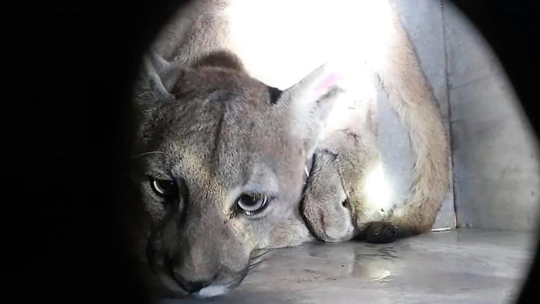 Capturan otro puma silvestre en Santiago de Chile durante la cuarentena por el coronavirus (VIDEO, FOTOS)